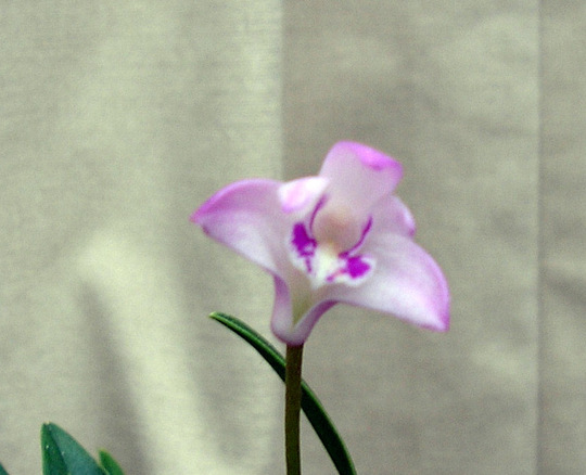 Bamboo orchid tiny flower big scent