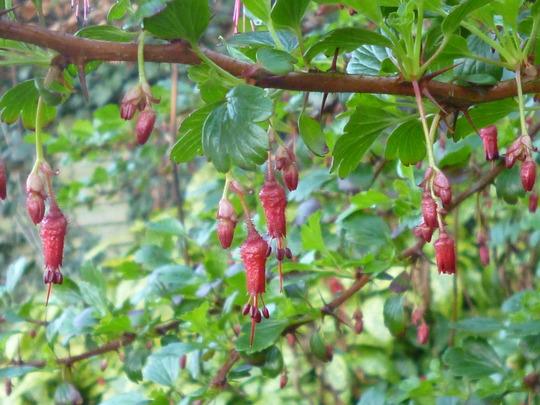 Ribes - fuchsia flowered (Ribes speciosum)