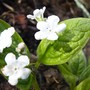 Just for my records..Omphalodes verna 'Alba' (Omphalodes verna)