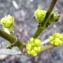 Cornus mas 'Aurea' (Cornus mas (Cornelian cherry))