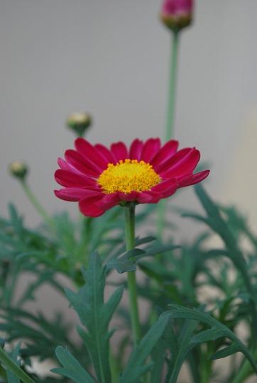 Argyranthemum.....deep pink (Argyranthemum)