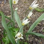 Tulipa turkestanica - 2015 (Tulipa turkestanica)