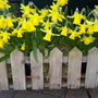 Signs of Spring.  These Tete - a - Tete have been looking great for weeks now.
