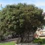 Ngaio tree,a Tree of life. (Myoporum laetum (Ngaio))