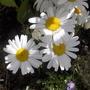 shatsa daisy
