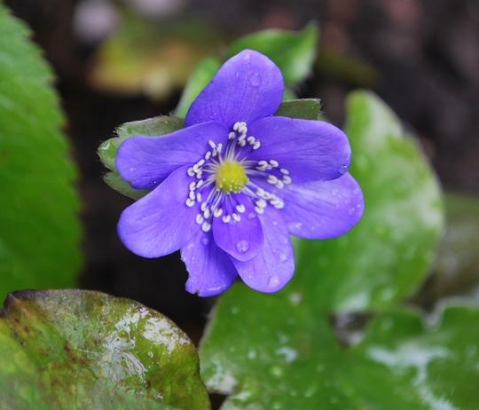 Hepatica Blue Jewel... (Hepatica transsilvanica Blue Jewel.)
