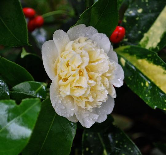 Camellia Brushfields Yellow..... (Camellia Brushfields Yellow)