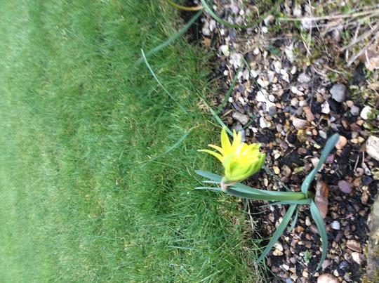 Daffodil 'rip van winkel'