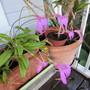Masdevallia Orchid. 3/4 shot. (Masdevallia)