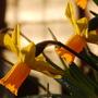 Daffodil in evening sunlight