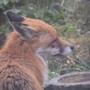 Garden fox visitor