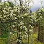 Back on the island - Japanese apple/pear tree