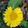 Doronicum Little Leo... (Doronicum orientale (Leopard's bane) Little Leo)