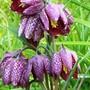 Fritillaria_meleagris