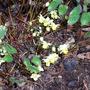 Epimedium flowering