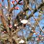 Apricot tree.