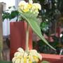 phlomas russellana (phlomis russeliana)