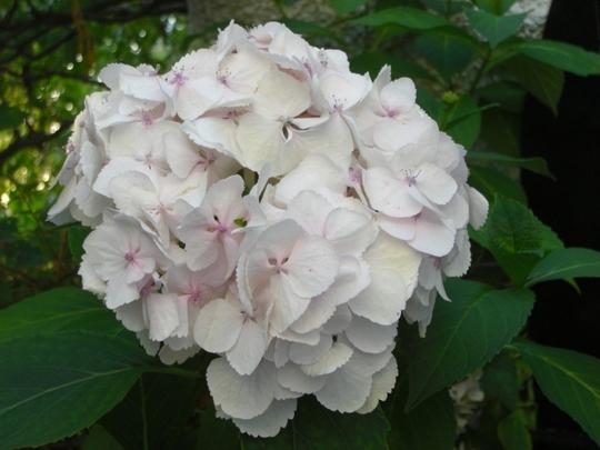 Hydrangea (Hydrangea arborescens (Hydrangea))