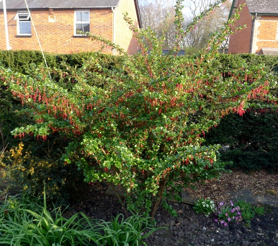 Ribes speciosum - 2015 (Ribes speciosum)