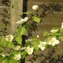 Kerria_japonica_albescens_2015