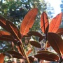 Rhododendron Sir Charles Lemon (Rhododendron Sir Charles Lemon)