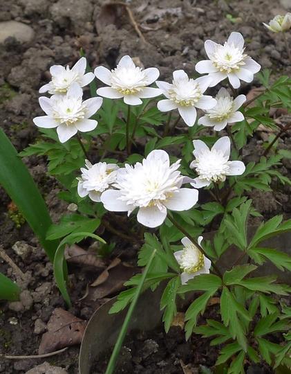 Anemone nemorosa 'Vestal' - 2015 (Anemone nemorosa)