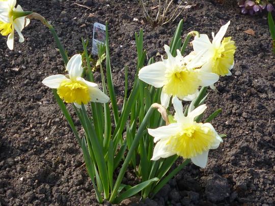 Narcisus 'Ice Follies' (Narcisus 'Ice Follies')