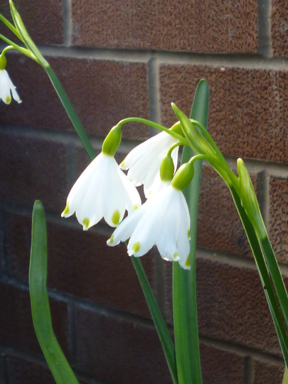 Snowflake in flower (Leucojum vernum (Spring snowflake))