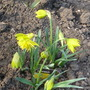 Narcisus 'Rip Van Winkle' (Narcissus pumilus Rip van Winkle)