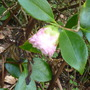 Camellia japonica 'Ave Marie'