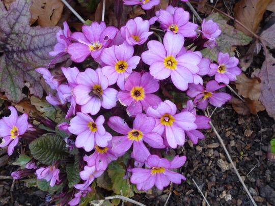 Primula 'woodland walk' series. (Primula 'woodland walk')