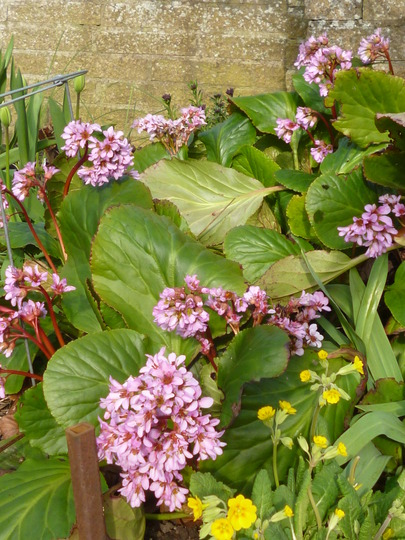 By the front gate. (Bergenia purpurascens (Elephant's ears))