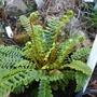 March_29th_2015_blechnum_spicata