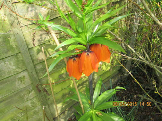 A Lovely Surprise Found In My Garden Today :o) (Fritillaria imperialis)