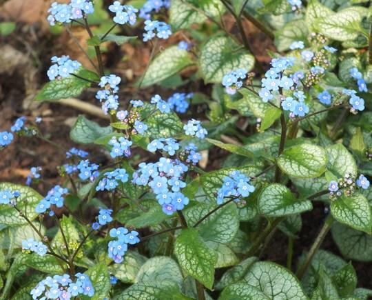 Brunnera 'Jack Frost' (Brunnera macrophylla (Brunnera))
