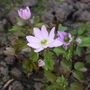 Anemonella_thalictroides_babe_2015