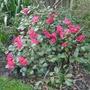 Rhododendron_lori_eichelser_2015