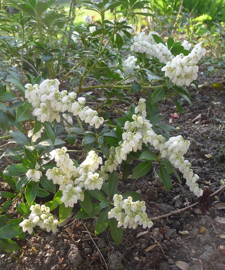 Pieris japonica 'Purity' - 2015 (Pieris japonica)
