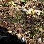 Bluebell_seedlings_somme_park_2_