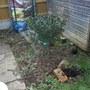 holly 2 (Ilex aquifolium)