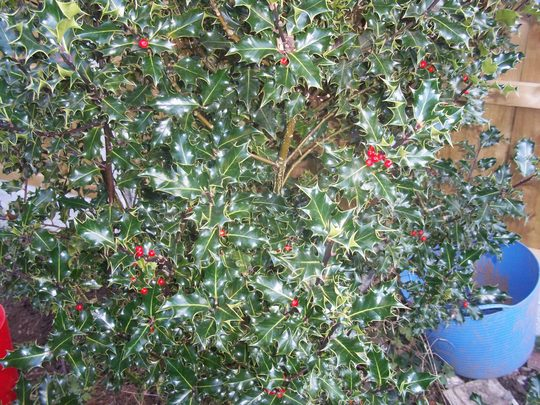 holly - shrub 19