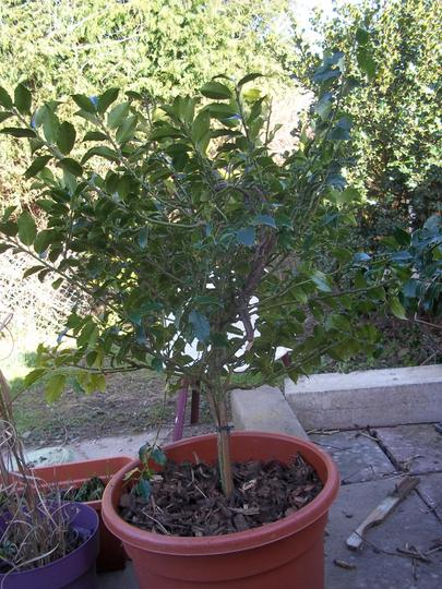 holly 2 tubbed (Ilex aquifolium)