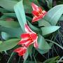 Tulips (Tulips)