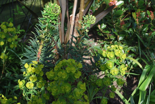 Euphorbias Black Pearl and Martini I think!! (Euphorbia characias Black Pearl..)
