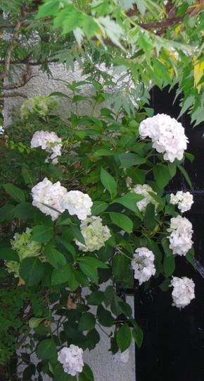 Hydrangea side passage (Hydrangea arborescens (Hydrangea))