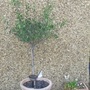 Our little olive tree