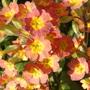 Self-sown primroses