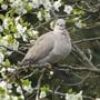 Collard Dove in the Damson tree