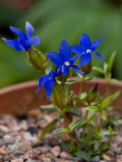 Gentiana verna ssp. tergestina (Gentiana verna (Gorycza))