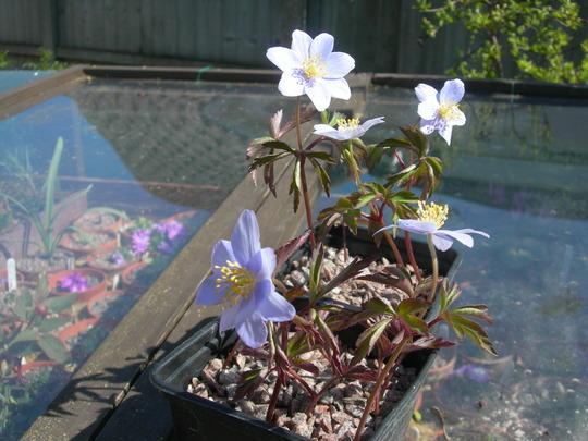 Wood anemone (Anemone nemorosa 'Robinsoniana')